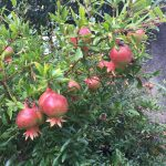 Grenadier nain Dwarf pomegranate