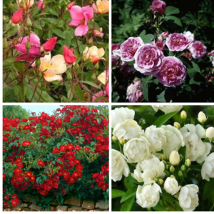 Favourite roses for Tolouse